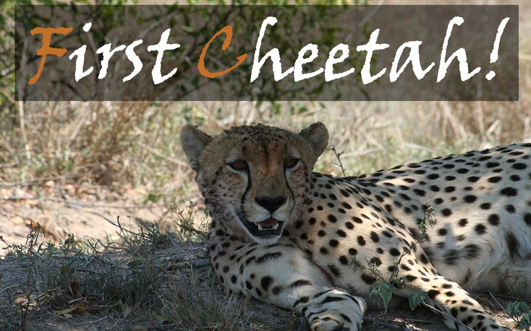 First Kruger Park Cheetah