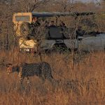 Hamiltons Tented Camp Cheetah