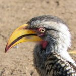 Hoyo Hoyo Safari Lodge Yellow-billed Hornbill