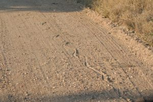 Kruger National Park African Rock Python Tracks