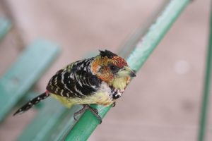 Kruger National Park Crested Barbet