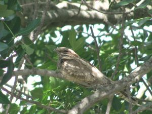 Kruger National Park European Nightjar