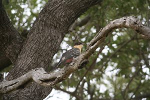 Kruger National Park Great Spotted Cuckoo