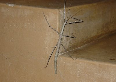 Giant Stick Insect In Skukuza