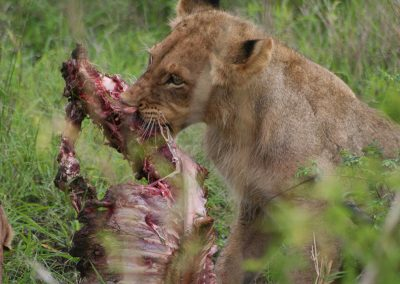 Kruger National Park Lion Kill