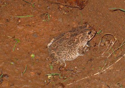 Olive Toad