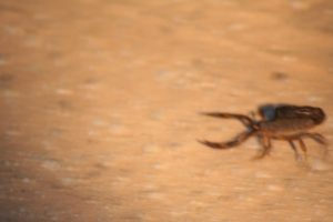 Kruger National Park Scorpions: Thick Tailed Scorpion
