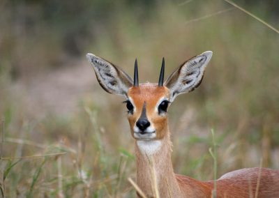 Steenbok Close To Talamati