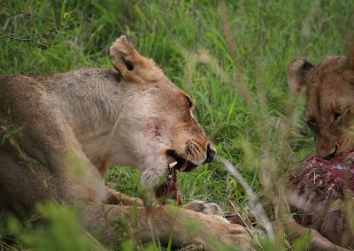 Two Lions On The Kill
