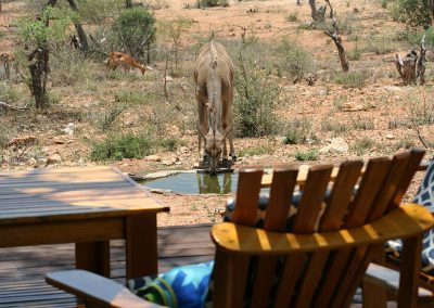 Kudu Drinking From Bird Pool