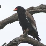 Lion Sands Bateleur Eagle
