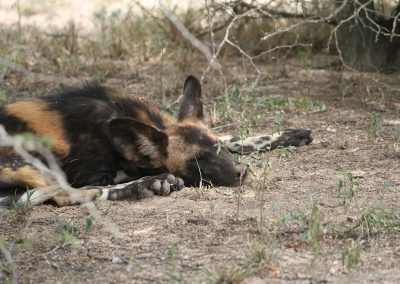 Wild Dog Sleeping