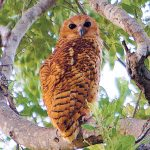 Pafuri Camp Pels Fishing Owl