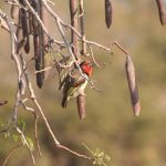 Singita Lebombo Black Collared Barbet