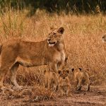 Singita Sweni Lodge Lions