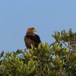 Tawny Eagle Hamiltons Tented Camp