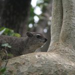 The Outpost Yellow Spotted Rock Hyrax