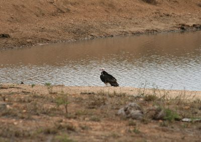 White-Headed Vulture on the S126