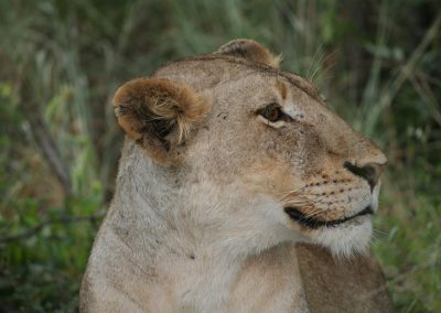 African Lions At Private Camps