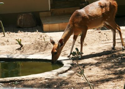 Bushbuck Drinking At Reception