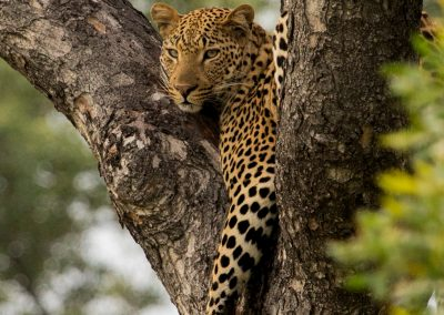 Kruger Park Leopards At Private Camps