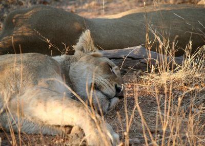 Lioness At Balule