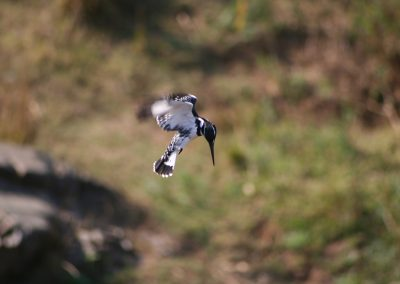 Pied Kingfisher Hovering At Lake Panic Hide