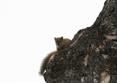 Southern Tree Squirrel