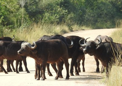 African Buffalo On The S3