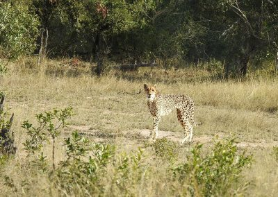 African Cheetah Female On The H3