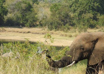 African Elephant At Mestel Dam