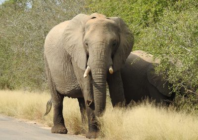 African Elephant Herd On The H4-2