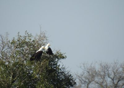 African Fish Eagle Pair At Lake Panic Bird Hide