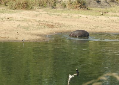 African Hippopotamus Playing With Terrapin At Mestel Dam