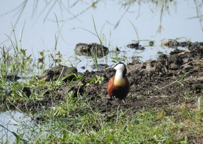 African Jacana At Lake Panic Bird Hide