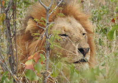 African Male Lion Close Up Near Afsaal