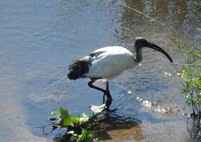 African Sacred Ibis On The Crocodile River