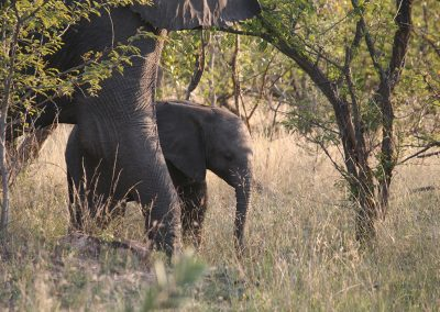Baby African Elephant Close To Mom