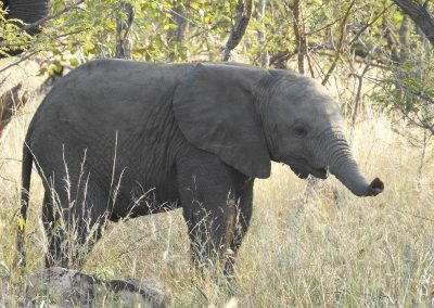 Baby African Elephant On The H3