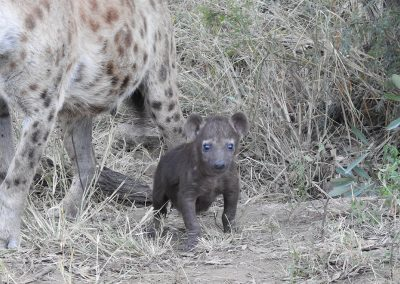 Baby Spotted Hyaena On The S110