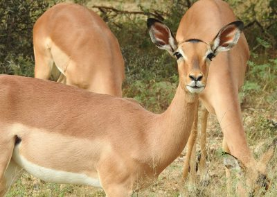 Beautiful Female Impala On The H4-1