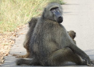 Chacma Baboon Male Sitting On The Road
