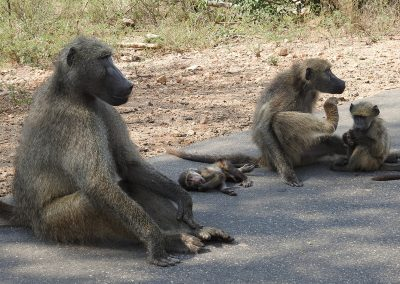 Chacma Baboon Troop Family On The H4-2