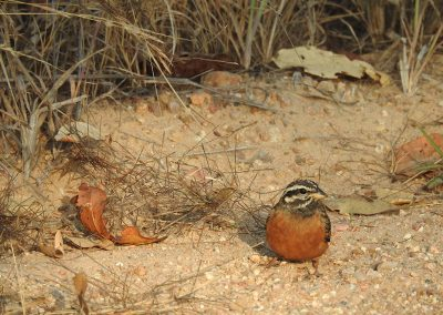 Cinnamon-breasted Bunting On The H2-2 Voortrekker Road