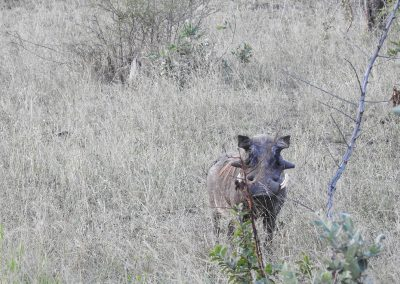 Common Warthog On Berg-en Dal Sunset Drive