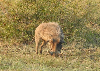 Common Warthog On The H3