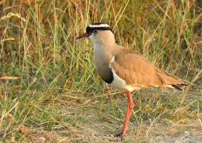 Crowned Lapwing On The H3