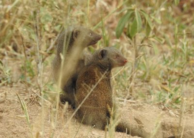 Dwarf Mongoose On The Lookout