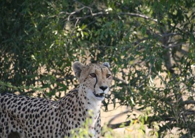 Female Cheetah On The Lookout