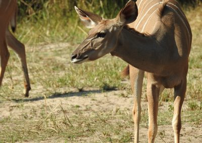 Greater Kudu Female At Lake Panic Bird Hide